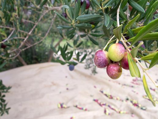 פסטיבל ימי ענף הזית