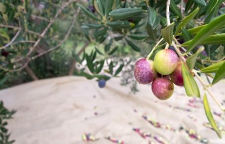 אתר ענף הזית, שמן זית ישראלי